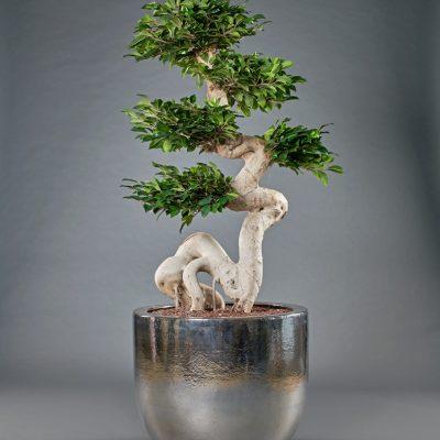 Jersey platin <br>mit Ficus Ginseng künstlich