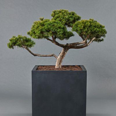 Block 60 <br>mit Pinus mugo