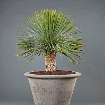 Terra Cotta grau <br>mit Yucca rostrata